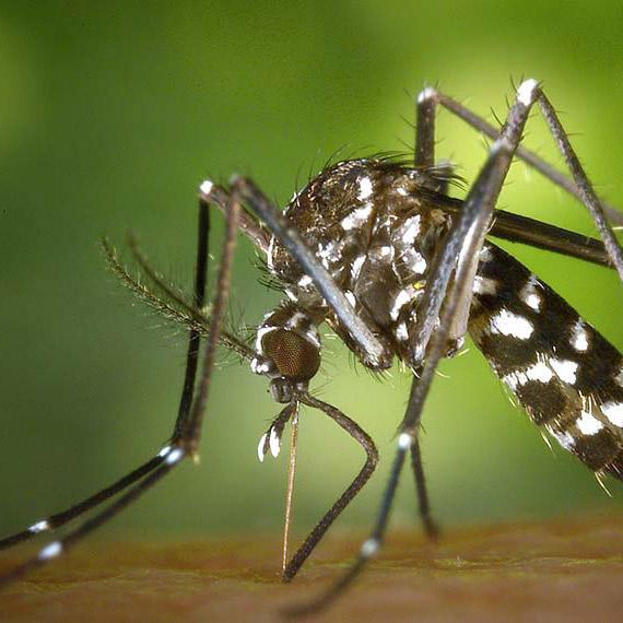 Tigermücken bekämpfen | Immonet