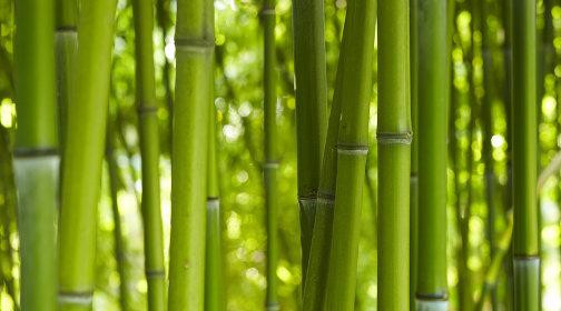 Bambus_01.jpg Sichtschutz Balkon Bambuspflanzen